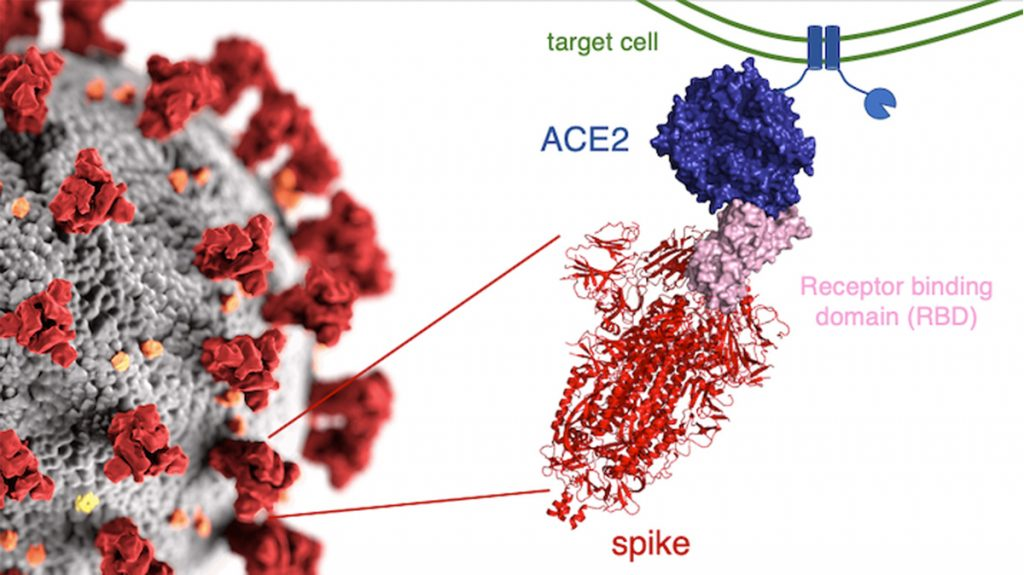 corona-spike-protein-covid-19-Variants