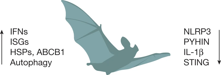 Enhanced host defense and dampened inflammation provides unique viral immunity to Bats